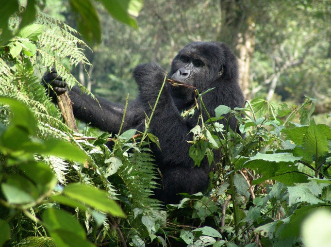 Gorilla Eco Tours in Uganda Bwindi Forest National Park