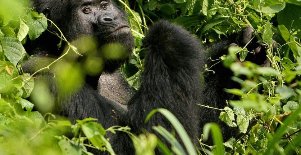 Gorilla Trek, Nyiragongo Hike and Tchegera Holiday